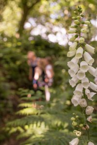 White foxglove flowers, on one of our paths in the woods